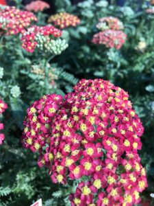 Red Yarrow in bloom